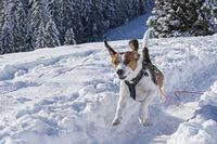Beagle on the way to Fockenstein