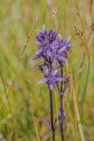Star swertia  'Swertia perennis'