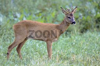 Rehbock - Jaehrling mit abnormen Gehoern steht auf einer Waldwiese - (Reh - Europaeisches Reh) / Young Roe Deer buck with abnormal antler standing in a forest meadow - (European Roe Deer - Western Roe Deer) / Capreolus capreolus