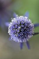 ryngium planum, the blue eryngo or Mannstreu in German; flowerhead from above