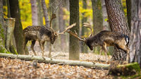 Majestic fallow deer stags fighting in forest in autumn.
