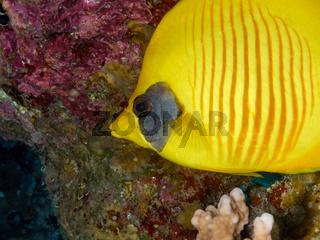 Masken-Falterfisch (Chaetodon semilarvatus)