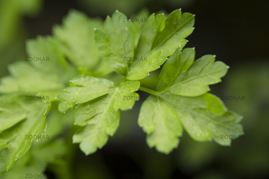 Parsley (Petroselinum)