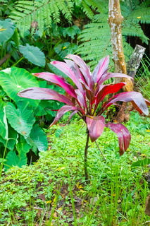 Costa Rica Cordyline fruticosa red in tropical forest