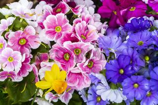 Rotweisse und blaue Frühlingsprimeln und einer gelben Narzisse