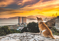 Dog overlooking sunset ,Nha Trang city, Vietnam.