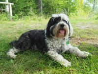 Tibetan Terrier - a dog breed