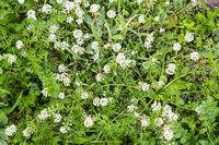 Wild white flowers in Sardinia
