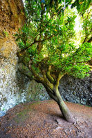 Sacred tree Garoe in El Hierro island, Canary Islands, Spain.