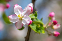 Blossom of the apple tree in the spring garden