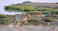 lion, Etosha National Park, Namibia, (Panthera leo)