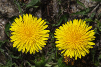 two dandelion flower