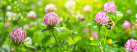 Beautiful spring wild meadow clover flowers, pink and green colors in sun light with bee, ladybug, macro. Soft focus nature background. Delicate pastel toned image. Nature floral springtime. High key
