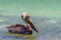 Brown pelican swimming on sea water