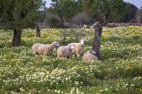 Schafe auf einer Blumenwiese, Mallorca
