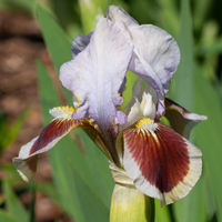 German iris, Iris barbata-nana