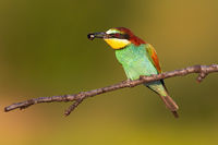 Colorful european bee-eater sitting on branch in summer with insect in beak.