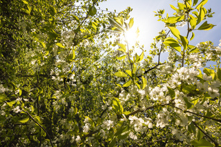 Close-up shots of beautiful cherry blossoms in spring time. Backlit photograph