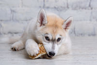 Little siberian husky puppy eats eats natural delicacy dried beef ear on wooden floor and brick wall background. Pet food additive. Improves appetite, strengthens teeth, jaws and gums. Pets food