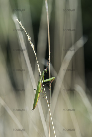 European praying mantis (Mantis religiosa), green colroed male, Valais, Switzerland