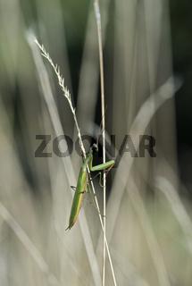 Europäische Gottesanbeterin (Mantis religiosa), Mànnchen mit grüner Grundfärbung, Wallis, Schweiz ,