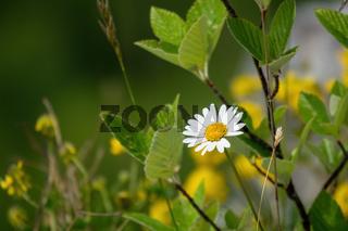 natural daisy flower