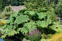 Large gunnera manicata or giant Rhubarb  in garden