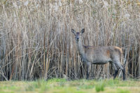 Red Deer hind in front of a reed belt / Cervus elaphus