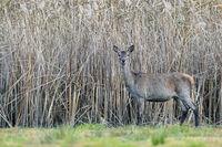 Red Deer hind in front of a reed belt / Cervus elaphus
