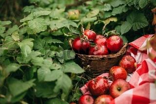 Red apples in basket, autumn garden, harvest time