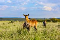 The large strong antelope - waterbuck