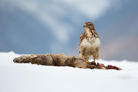 Common buzzard sitting on snowy field in wintertime nature