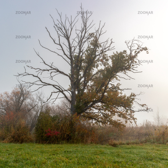 Tree in morning fog at Paar river near Schrobenhausen, Bavaria, Germany in autumn