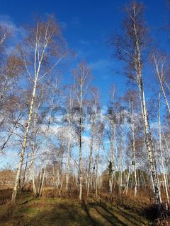 Kleiner Birkenwald am Mauerweg im Norden von Berlin an einem sonnigen Wintertag
