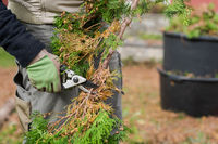 Garden work, human hands with working gloves cutting off twigs from branch of conifer tree with small loppers in autumn