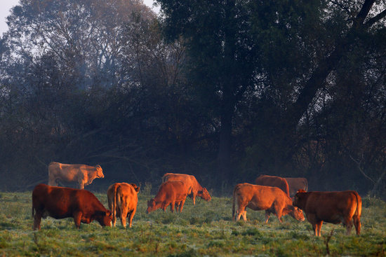 Grazing dairy cattle at daybreak, Northern Germany