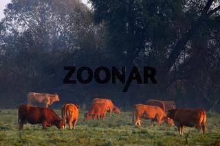 Milchkühe auf der Weide im Morgenrot