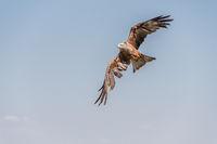 Black Kite in flight and depolyed wings