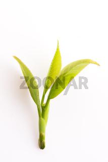 Fresh tea leaves on white