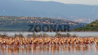 flock of lesser flamingos take flight lake bogoria, kenya
