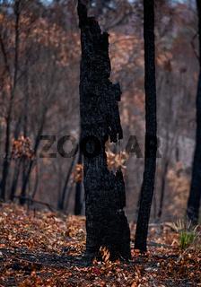 Burnt out tree in a bushfire ravaged landscape