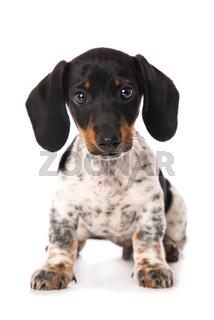 Miniature piebald dachshund isolated on white background