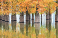 beautiful dawn redwood forest in lake