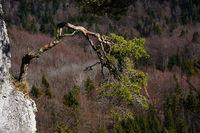 Bergkiefer, Pinus mugo, wächst auf einem Felsvorsprung