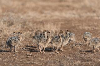 Ostrich chicks in the wild