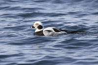 male long-tailed ducks floating along the shore of a winter day
