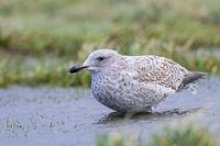 European Herring Gull juvenile bird in first-winter plumage