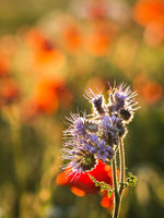 Phacelia and poppys at a meadow