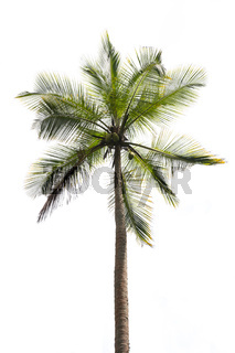 Coconut palm isolated on white