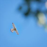 falcon flying in bluesky